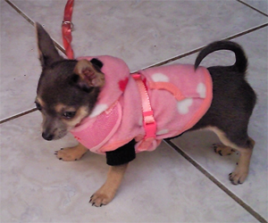 Lola - Chihuahua (Polaire capuche taille XS)
