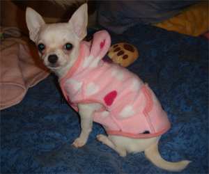 Extasy - Chihuahua (polaire uni confort - taille XS)