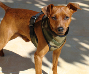 Elliot - Pinscher nain (Harnais confort army, taille S)