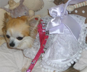 Chanelle - Chihuahua (harnais personnalisable croco rose, taille S)