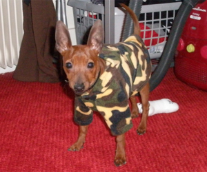 Eros - Pinscher nain (polaire camouflage, taille S)