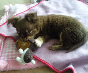 Edward - Chihuahua (Mini couverture ChienChatChic)