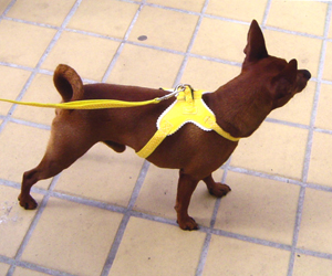 Victor - Pinscher nain (Harnais Pinkaholic taille S)