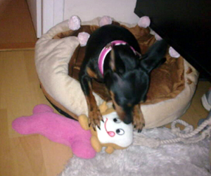 Chanelle - Pinscher nain (Jouet toast, os ChienChatChic, panier couronne, collier Virginia)