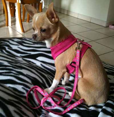 Enza - Chihuahua (harnais confort Everpink et laisse fine Pink Easter)